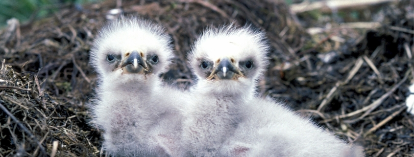 nido aves